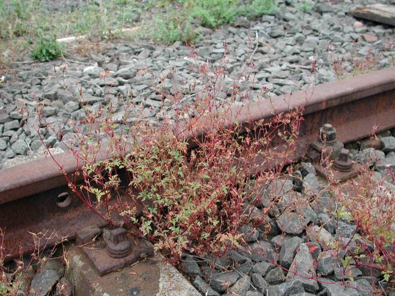 geranium_purpureum_887_3e4153.jpg