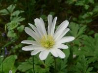 Anemone blanda Schott & Kotschy