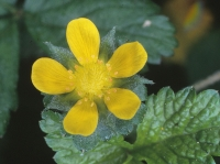 Potentilla indica (Andrews) T. Wolf
