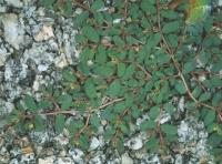 Euphorbia humifusa Willd.