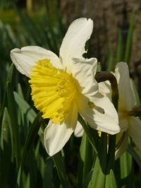 Narcissus poëticus L.