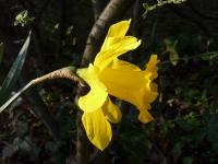 Narcissus pseudonarcissus L.