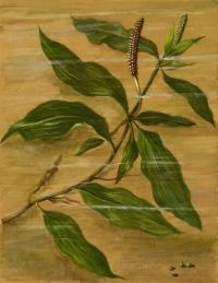 Potamogeton lucens L.