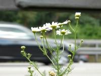 Tripleurospermum perforatum (Mérat) Laínz