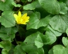 ranunculus_ficaria_1079_97a27a.jpg